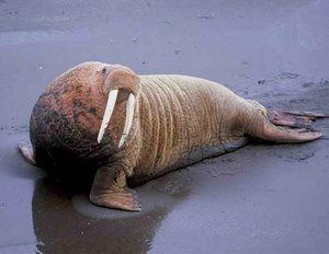 На фото показаний справжній морж.