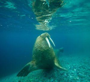 Морж під водою рухається швидко.