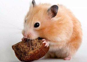 Възможно ли е да нахраните хамстер с хляб