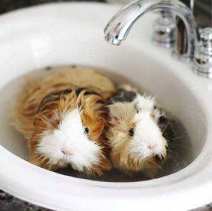 Je možné morča kúpať
