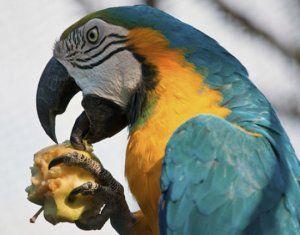 Възможно ли е да папагал ябълка