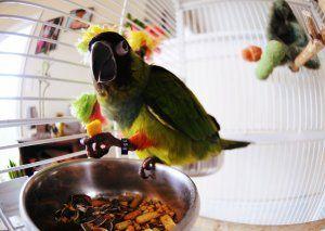 Може семена от печен папагал