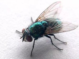 Muchy žijú vedľa nás, ale vie každý povedať, koľko má nôh?