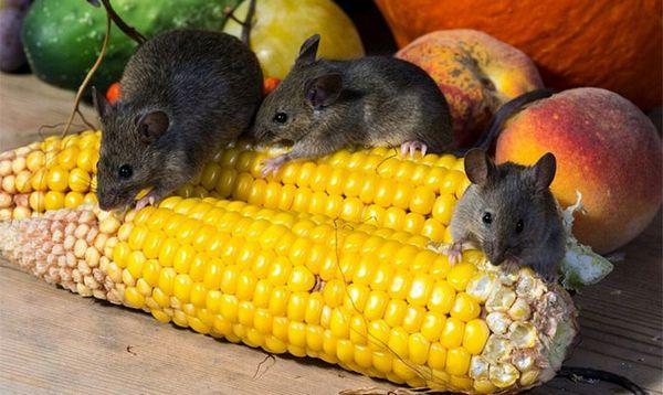 Myši zo záhrady!