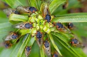 Hmyzová cikáda - kto je to a aké sú jeho biotopy