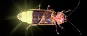 Hmyz svetlušky: čo žerie, kde žije a prečo žiari?