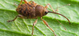 Hmyz, chrobáky, chrobáky, druhy chrobákov z ruska