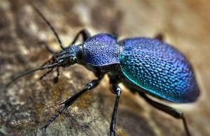 Biotop prízemného chrobáka