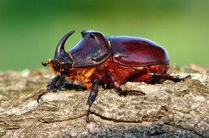 Stanovište chrobáka nosorožca