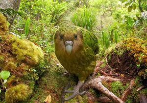 Папагал без полет: как изглежда, къде живее, какво яде
