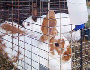 Як зробити поїлку для кроликів