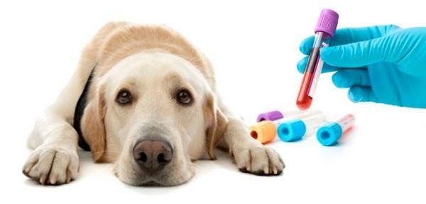 Стандарти и таблица за декодиране на резултатите от биохимичен кръвен тест при кучета