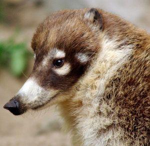 Nosoha: oplatí sa mať zviera ako domáce zviera?