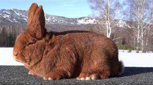 Новозеландський кролик, червоні і білі підвиди