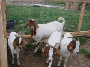 Núbijské kozy: výhody a nevýhody plemena