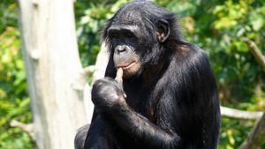 Opice bonobo: vlastnosti šimpanzého druhu trpasličí