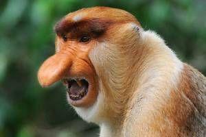 Opičia ponožka. Život opice s veľkým nosom