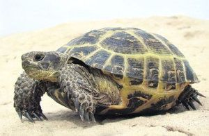 Habitat, životný štýl a výživa korytnačky