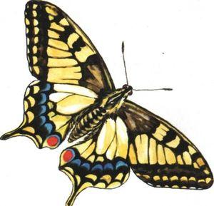 Životný štýl a popis motýľa lastovičník