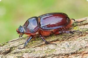 Životný štýl nosorožca. Čo jedáva chrobák nosorožec?