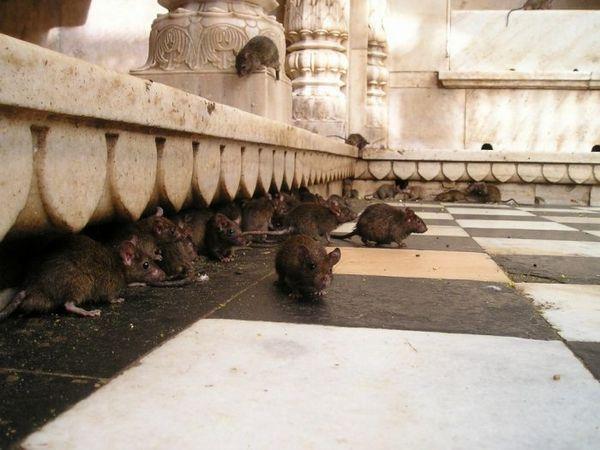 Prehľad efektívnych spôsobov zaobchádzania s myšami