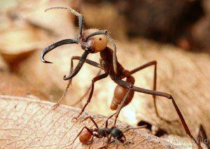 Prehľad štrajkujúcich predstaviteľov tropických mravcov amazonky