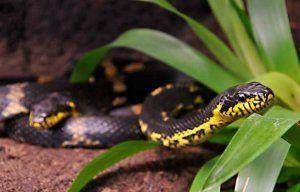 Опасна ли е амурската змия: описание, поддръжка у дома