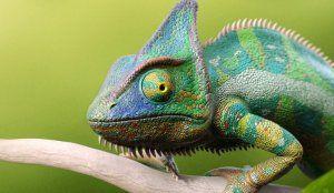Popis a vlastnosti chameleóna, vlastnosti údržby a starostlivosti