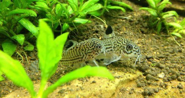 8 Популярних видів акваріумних сомиків