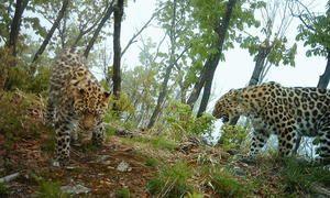 Opis leoparda: kde žijú a žijú rôzne populácie