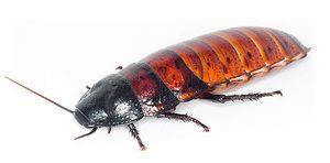 Opis švábov, ktoré zasyčali na madagaskare, a ich obsah