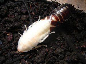 Larva švábov zasyčiacich na Madagaskare mení svoju škrupinu