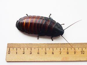 Dĺžka švábov, ktoré zasyčali na Madagaskare