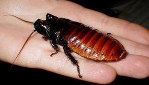 Veľký šváb z Afriky