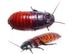 Odrody švábov syčiacich na Madagaskare