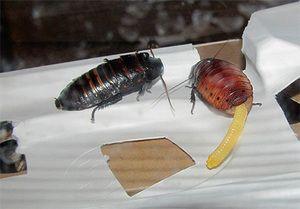 Chov švábov syčiacich na Madagaskare