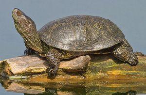 Описание, начин на живот и съдържание на костенурката в терариума