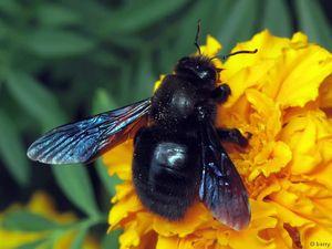 Popis stolárskej včely, vlastnosti správania