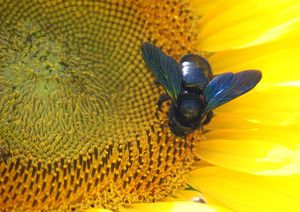 Včelí tesár - recenzia
