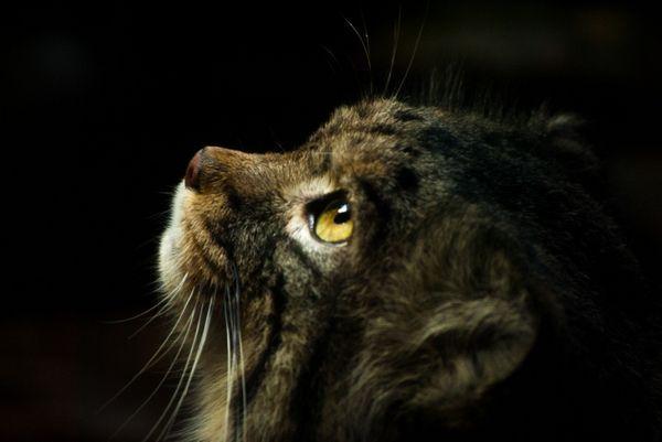 Amur lesná mačka