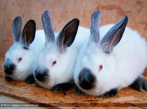 Opis plemena králika `kalifornského`
