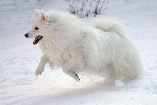 Собакам цієї породи необхідно багато і часто бігати