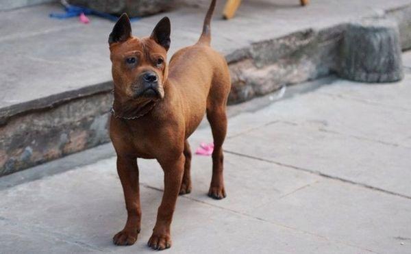 Описание на породата кучета Chunqing или китайски булдог