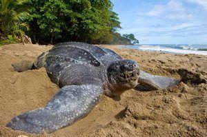 Popis najväčšej korytnačky na svete