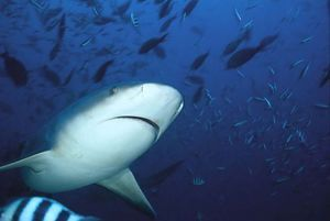 Žralok - býk