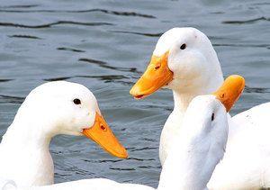 Порода патица Агидел