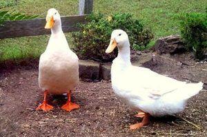Предимства на породата патици