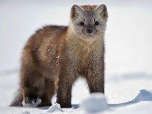 Opis života sobolia, ako vyzerá fotografia zvieraťa