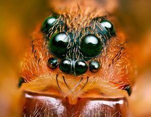 Orgány pavúčieho videnia a dôležitá otázka, koľko majú očí