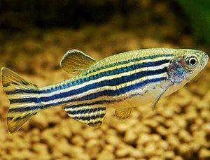 Основи на отглеждане на риба зебрафини у дома